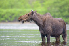 Moose in the river Stock Images