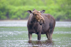 Moose in the river Stock Image