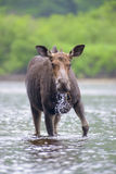 Moose in the river Royalty Free Stock Photos