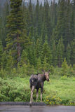 Moose by the road Stock Photography