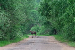Moose on the road Stock Photo