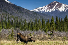 Moose in Rocky Mountain National Park. Near Grand Lake, Colorado.  On the west side of Rocky Mountain National Park Stock Photos