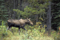 Moose running in rain stock images