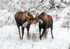 Moose Rut Stock Photography