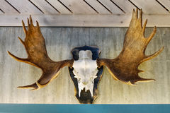 Moose Scull with antlers Royalty Free Stock Photo