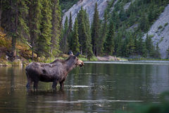 Moose searching for food in the lake Royalty Free Stock Image