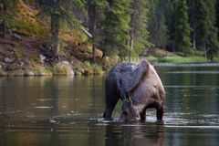 Moose searching for food in the lake Stock Images