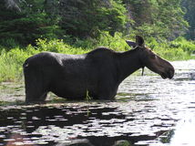 A moose. Seen from the side. Standing in water. Green trees behind it. The sun is shining. Algonquin National Park, Canada Royalty Free Stock Images