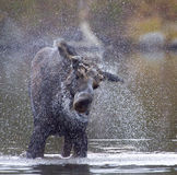 Moose Shake Stock Photography