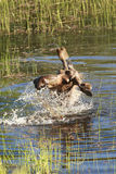 Moose shakes water off its head. Stock Photography