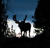 Moose Silhouette. A moose silhouette in the Colorado Rocky Mountains stock photo