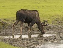 Moose Drinking at Alaskan Preserve. A moose is sipping from a small stream making for a  bucolic scene.  The animal has been injured in some capacity and is Royalty Free Stock Photography