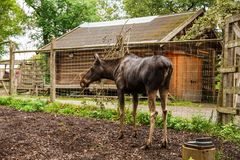 Moose in zoo. Moose at Skansen, the first open-air museum and zoo, located on the island Djurgarden in Stockholm, Sweden Stock Images