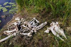 Moose skeleton. Moose Alces alces skeleton found on the shore of a small lake in Northern Finland Royalty Free Stock Photography