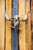 Moose Skulls on Plank Fence Royalty Free Stock Photo