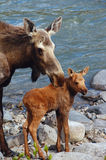Moose and small calf Royalty Free Stock Photos