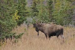 Moose sniff. A large bull moose tracks the smell of a female cow in heat Royalty Free Stock Photo