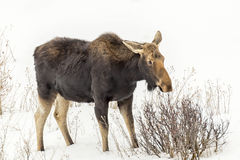 Moose in snow. Female moose grazing in the snow Stock Photo