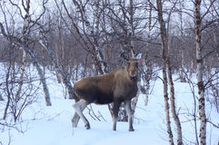 Moose Stock Photo
