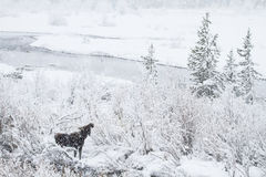 Moose in a snowstorm Royalty Free Stock Photos