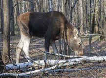 Moose in a spring forest Royalty Free Stock Photography