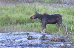 Moose standing in the edge of a river. Royalty Free Stock Photography