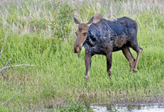 Moose standing in the edge of a river. Stock Images