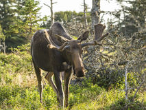 Free Moose Standing In A Field Royalty Free Stock Images - 36075809