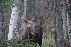 Moose. A moose standing in the woods Royalty Free Stock Photo