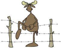 Moose stepping over a barbed wire fence Stock Photography