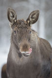 Moose, sticking his tongue out. A young male moose sticks out his tongue in Norway Royalty Free Stock Image