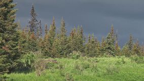 Moose on stormy forest ridge