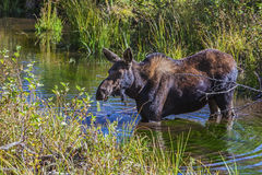 Moose in swamp land Royalty Free Stock Image