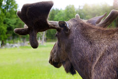 Moose in Sweden Stock Photos