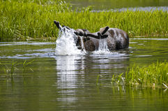 Moose taking a dip Royalty Free Stock Images