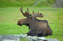 Moose taking a rest Stock Images