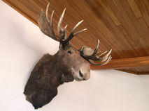 Moose Taxidermy. AUCKLAND - DEC  25 2015:Moose Taxidermy. The last proven sighting of a moose in New Zealand was in 1952.It is the largest extant species in the Stock Photography