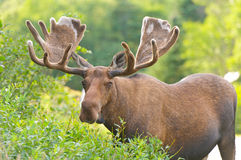 Moose in Velvet feeding in the wilderness. Moose in Velvet in Northern Newfoundland Royalty Free Stock Images