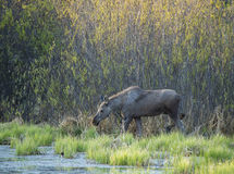 Moose wading through marsh area in Alberta, Canada. Young Moose (Alces alces) wading through marshland area eating new spring vegetation Stock Photo