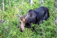 Moose. Walking through the woods looking for her mate royalty free stock photos
