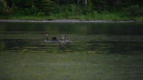 Moose Wanders Around Underwater in Mountain lake. In Glacier National Park stock video