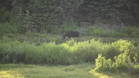 Moose Wanders Through Willows At Dusk. In Grand Teton stock video footage