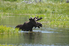 Moose in water Stock Photos