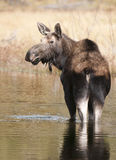 Moose in water Stock Photography