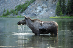 Moose in water Royalty Free Stock Images