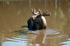 Moose in the water. A male moose drinking in a swedish lake Stock Images
