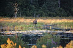 Moose in the water Royalty Free Stock Photography