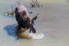 Moose in the Water Royalty Free Stock Photo