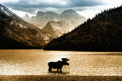 Moose in Waterton Lake. Landscape view of a silhouetted moose in Waterton Lake, Canada stock images