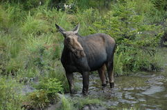 Moose in White Mountains of New Hampshire Stock Images